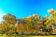 新疆白桦林图片