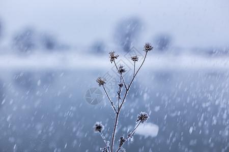 冬季下雪时雪中的植物图片