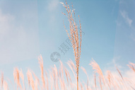 深圳山顶阳光芦苇图片