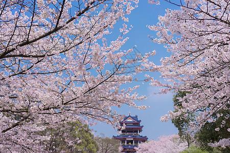 无锡鼋头渚樱花谷图片