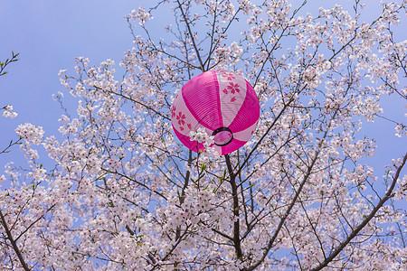 无锡鼋头渚樱花节图片