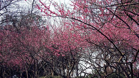 红梅树林图片