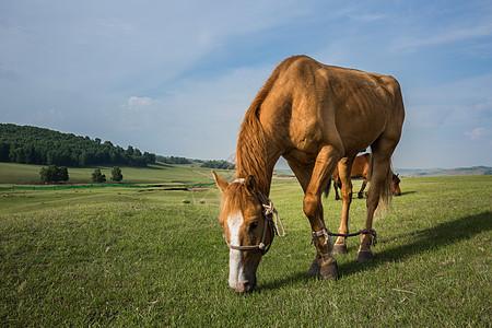 草原上吃草的马儿图片