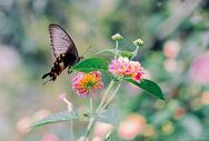 春天花丛中飞舞的蝴蝶图片