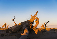 额济纳旗枯树图片
