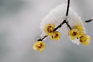 雪中腊梅花图片