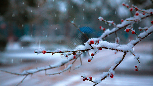 冬天雪季里的梅花枝图片