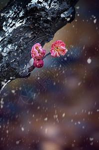 雪后寒梅图片