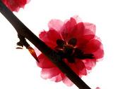 阳光下的海棠图片