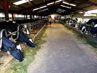 奶牛农场图片