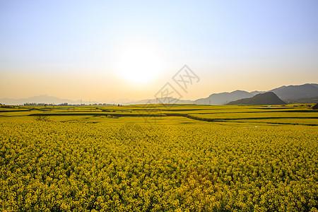 云南罗平油菜花图片