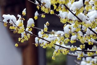 下雪后腊梅花开图片