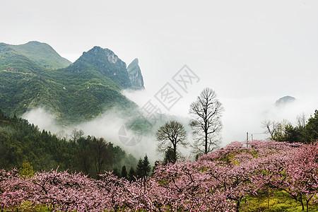 春天桃花盛开图片