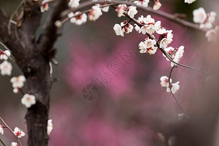 春天梅花开摄影图图片