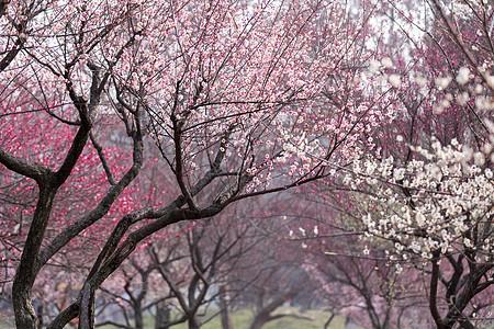 春天梅花开图片