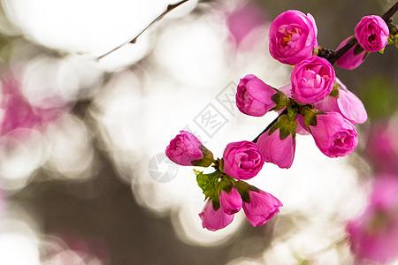 春天樱花含苞待放图片