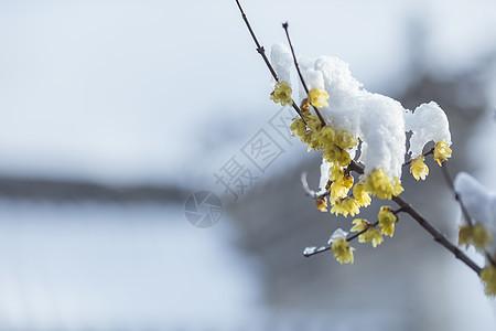 寒冬里下过雪的腊梅花图片