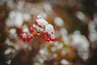 冬季里的红色果实图片
