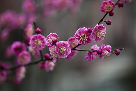 红梅花开图片