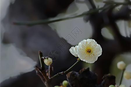 水墨画般的梅花图片
