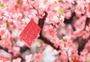 新年挂在桃树上的红包图片