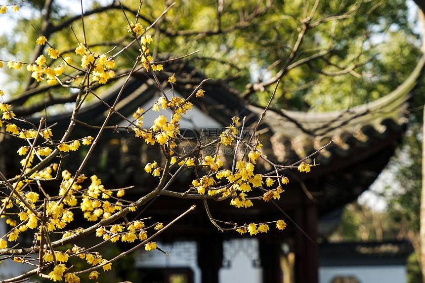 过年公园里古建筑门前的腊梅花图片