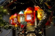 元宵节灯笼前的腊梅花图片
