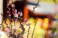 过年公园里的腊梅花图片