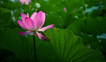 夏日池塘荷花绽放图片