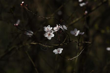 云南樱花图片