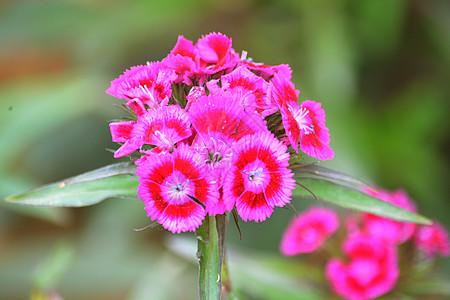 公园里玫红色的观赏花图片