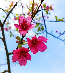 一束樱花图片