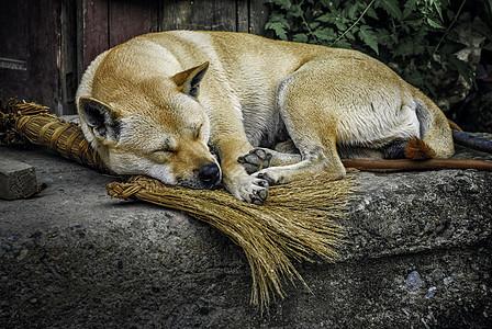 睡觉的大黄狗图片