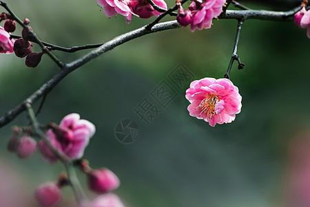 迎春梅花图片