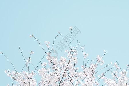 春天樱花蓝天壁纸图片