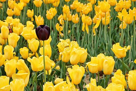 黄色黑色郁金香图片