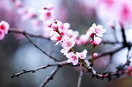 西藏林芝桃花图片