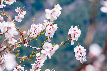 西藏林芝桃花特写图片