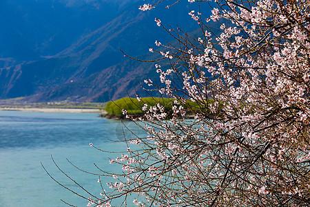 湖边的林芝桃花树图片