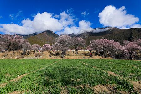 蓝天草地粉艳艳的桃花树图片