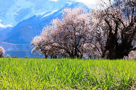 西藏林芝桃花节图片