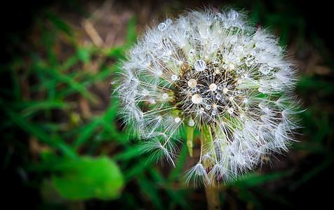 春天盛开的蒲公英图片