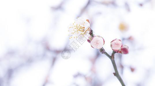 盛开的梅花图片