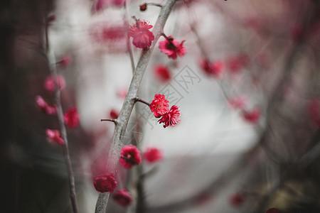 冬季梅花景物图图片