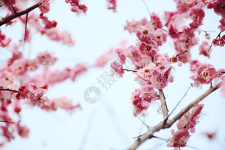 开放的梅花图片