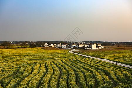 广阔的油菜花田图片