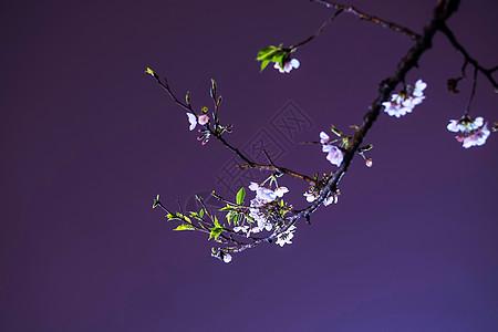 武汉大学夜樱樱花高清图片