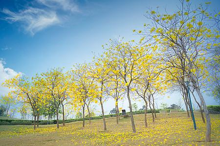 公园中唯美的黄花风铃木图片