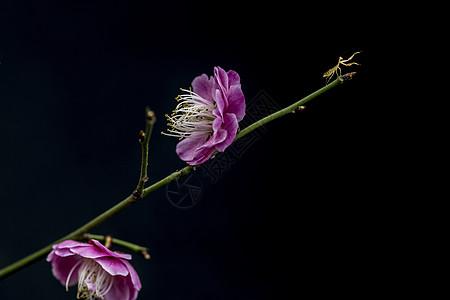 梅花朵朵知春来图片