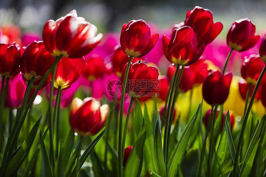 红色的郁金香图片